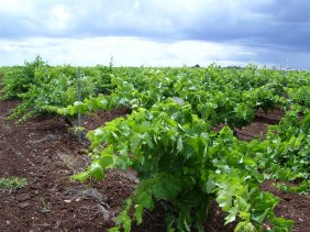 Look at how healthy the vines are at VB. The most important element in the production of good wines.